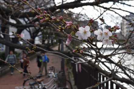 ソメイヨシノ開花(横浜市中区末吉町の太田橋付近)