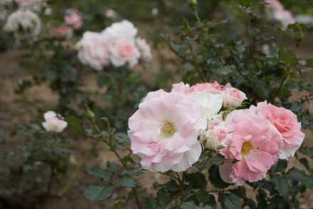 「ローザ・つづきく」(横浜の街の名前冠したバラ)開花