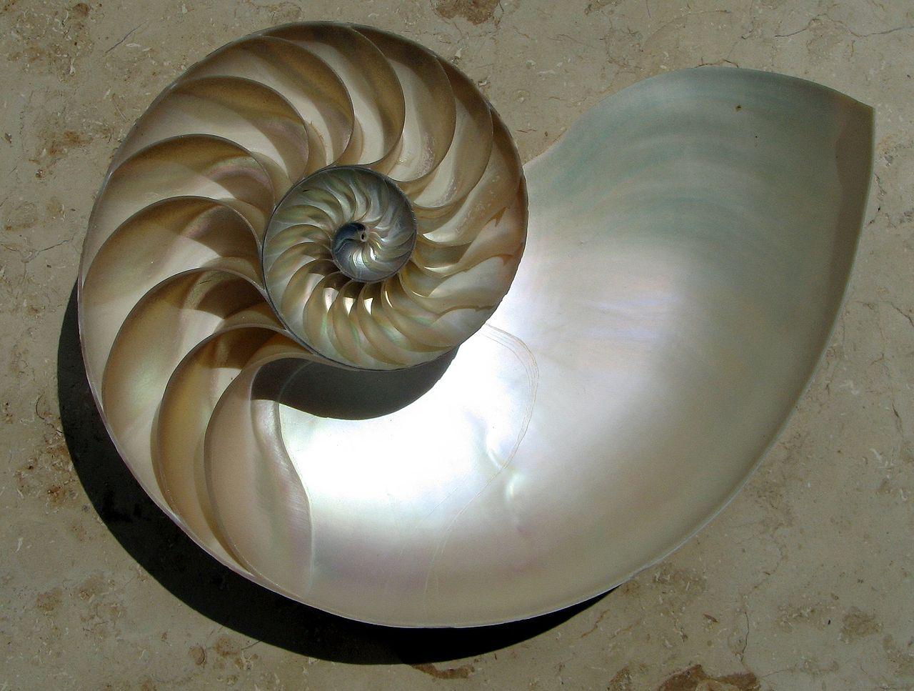 アンモナイトやオウムガイ、巻貝の貝殻