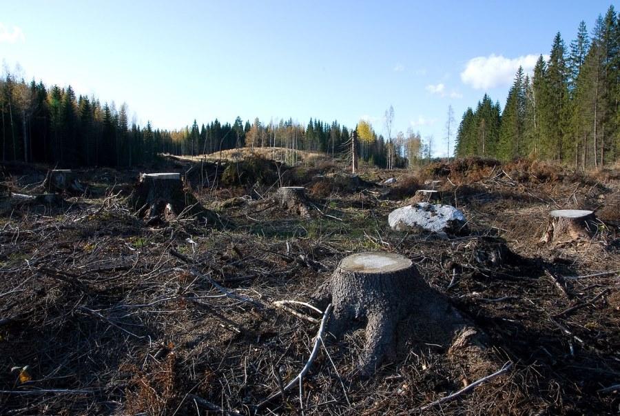 南フィンランドでの皆伐例